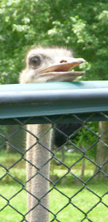 Ostrich says Hello