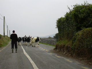 Farmer moving cows across the road