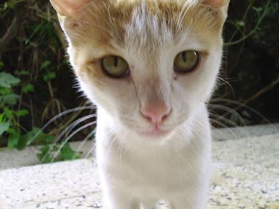 iraqi cat