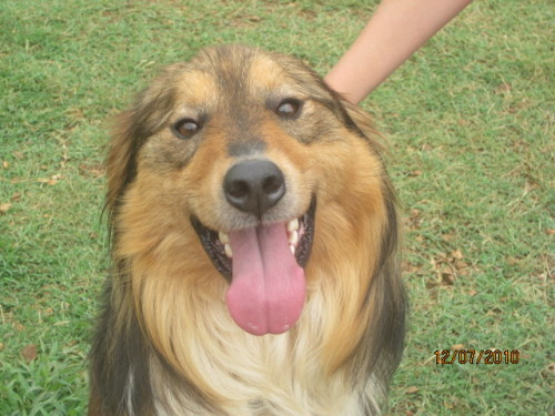 the foster roster coosa sheltiecollie mix