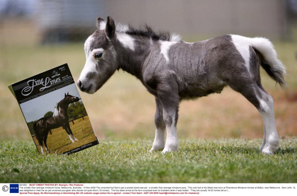 The smallest horse in the world ever - photo#22