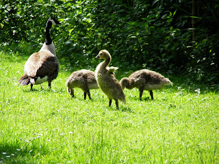 A Canada Goose with Goslings