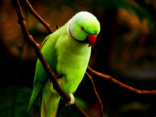 Indian Green ParrotIndian Parrot Wallpaper