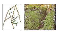 Algunos ejemplos de enrame y entuturado plantas y hortalizas for Plantas hortalizas ejemplos