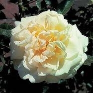 The Agnes Rose