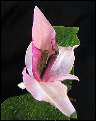 hemafroditas