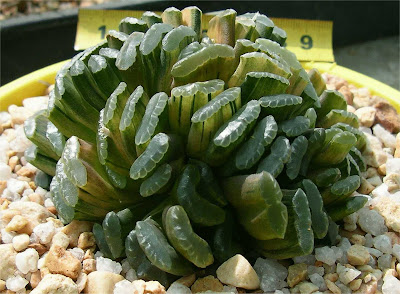 Haworthia truncata Variegated