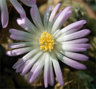 Conophytum ernstii subsp. cerebellum