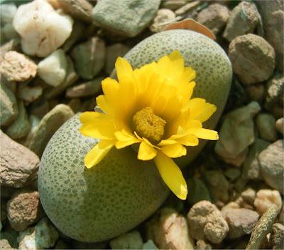 Tanquana hilmarii