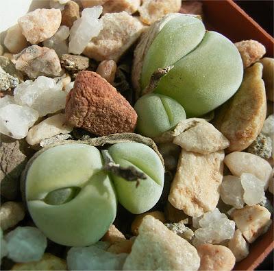 Gibbaeum nebrownii