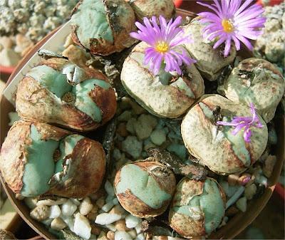Conophytum  wettsteinii subsp. wettsteinii