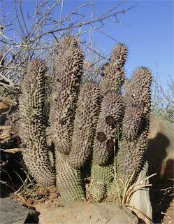 Hoodia pilifera subsp. pilifera