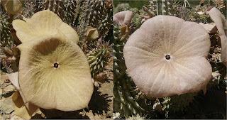 Hoodia gordonii flowers
