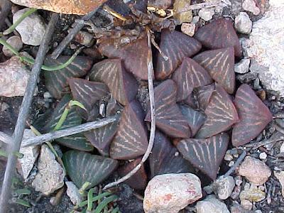 Haworthia fusca