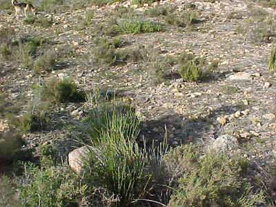 Haworthia fusca habitat