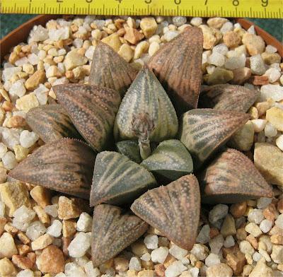 Haworthia Lombard Star