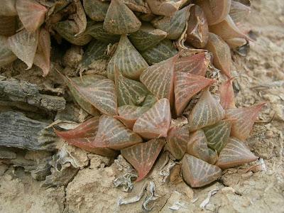 Haworthia acuminata