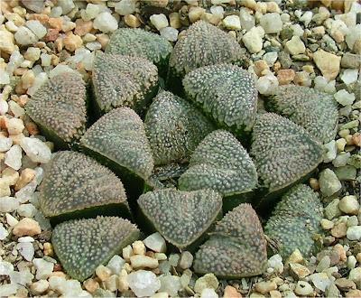 Haworthia pygmaea crystallina X splendens