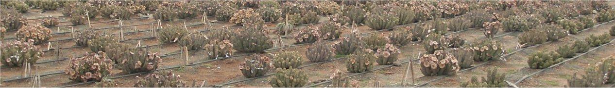 [Hoodia+gordonii+cultivation.jpg]