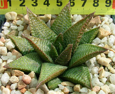 Haworthia koelmaniorum x mortonii