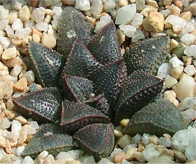 Art Plants Haworthia