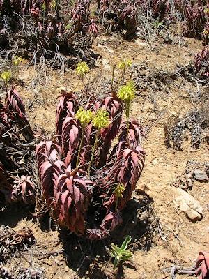 Aloe pearsonii