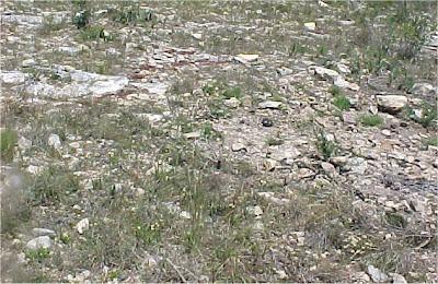 Haworthia variegata