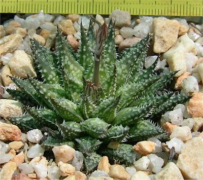 Haworthia pulchella