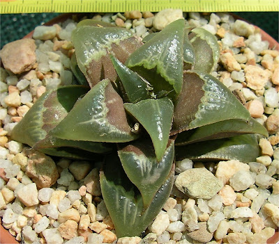 Haworthia badia