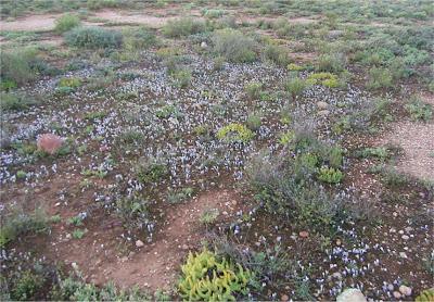 Syringodea longituba variety violacea