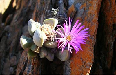 Cerochlamys pachyphylla