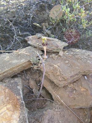 Ceropegia fimbriata subspecies geniculata