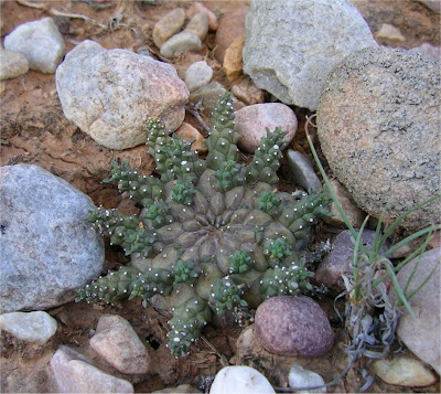 Euphorbia albipollinifera