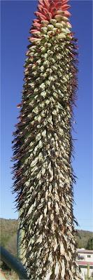 Aloe speciosa flower