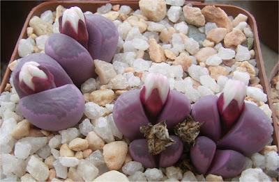 Lithops optica cv. rubra