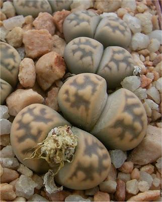 Lithops karasmontana subsp. bella