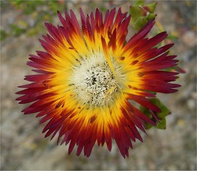Drosanthemum bicolor