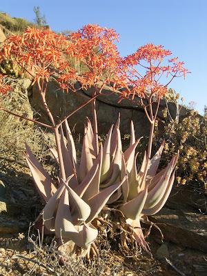 Aloe striata ssp. striata