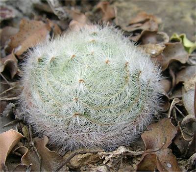 Crassula barbata subsp. barbata