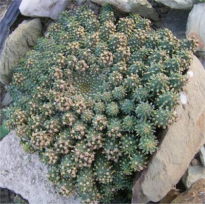 Euphorbia atroviridis