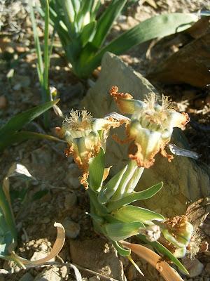 Ferraria crispa subsp. crispa