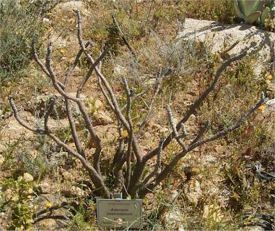 Adenium boehmianum