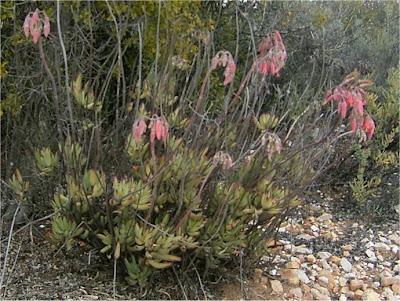 Cotyledon tomentosa ssp. ladismithiensis