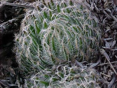 Haworthia aranea - Matjiesvlei