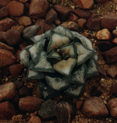 Haworthia mutica White Widow original