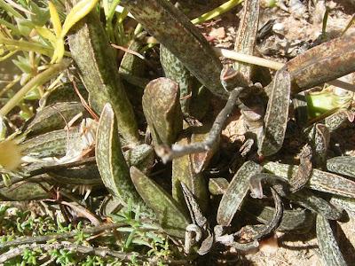 Adromiscus marianae var. marianae