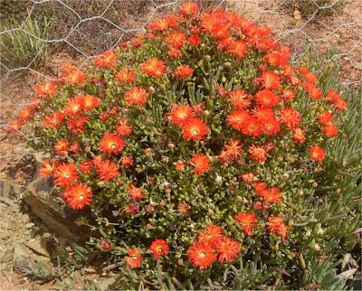 Drosanthemum speciosum