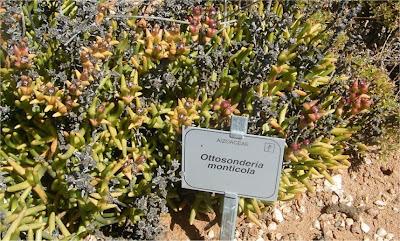 Ottosonderia monticola