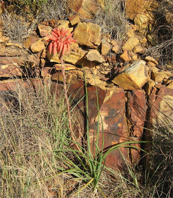 Aloe micracantha