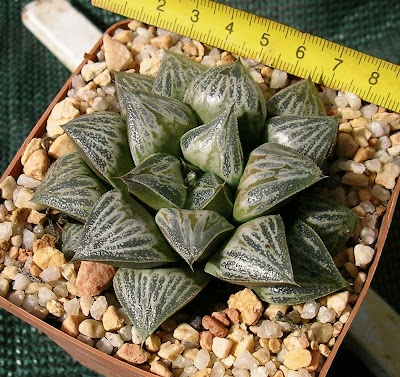 Haworthia cv. Toff-o-lux